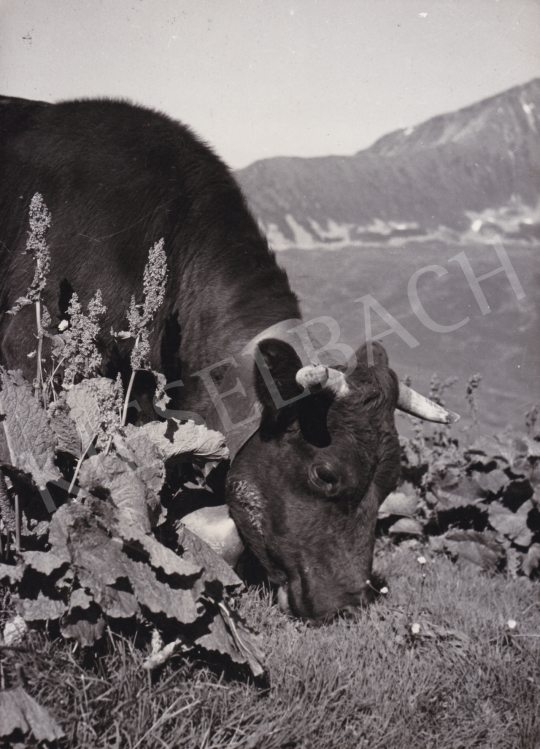 For sale  International News Photos - Cow, 1948 's painting