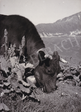 International News Photos - Cow, 1948