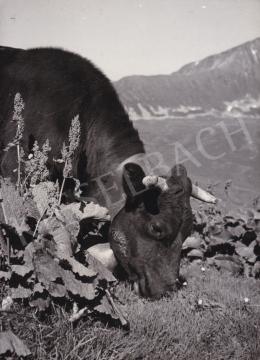 International News Photos - Legelő tehén, 1948